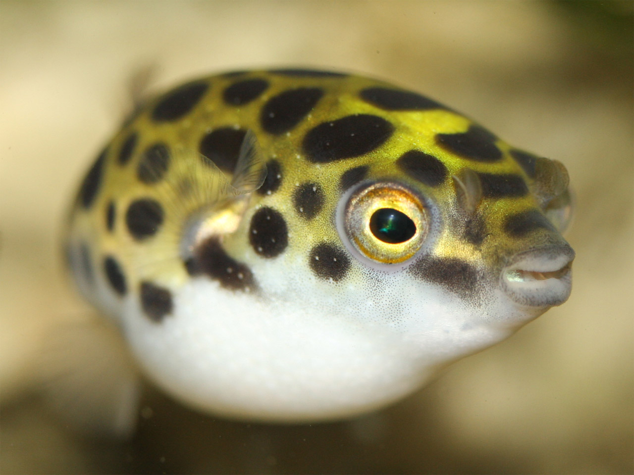 HELP      Injury and Puffer ID help     - The Puffer Forum