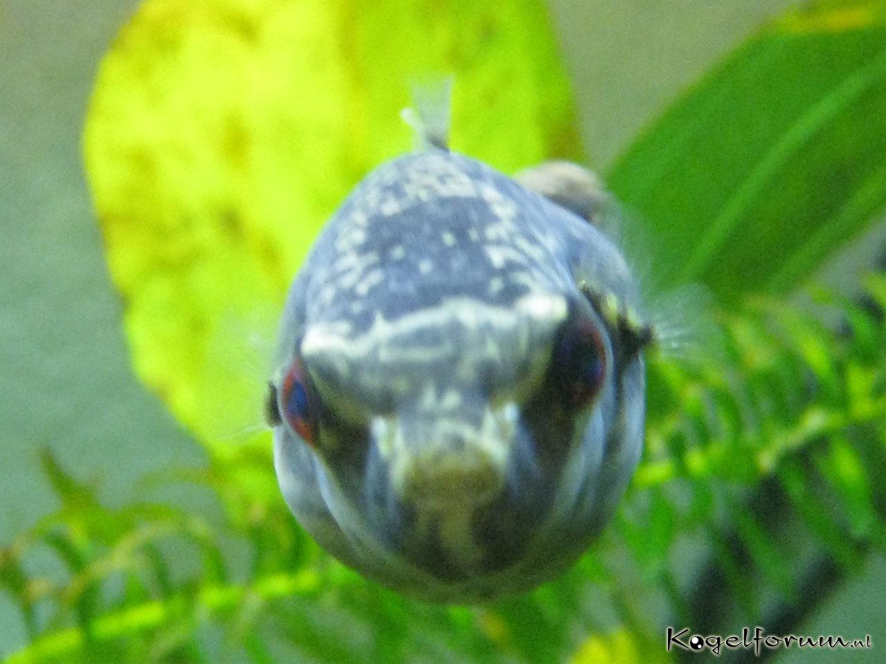 Kogelvis forum • Zoetwater kogelvissen